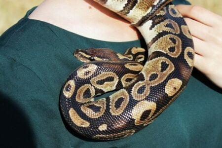 ball python human deaths