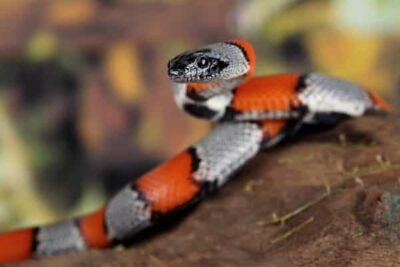 how do coral snakes capture food?