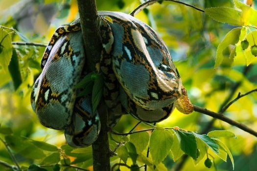 Reticulated Python health problems
