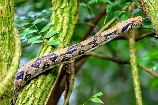 What is the biggest boa constrictor?