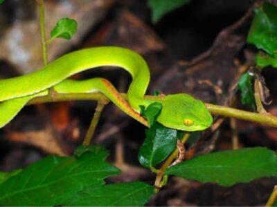 how long do rough green snakes get?