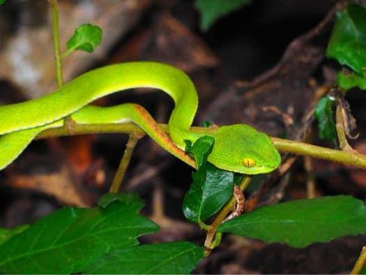 smooth green snake vs. rough green snake
