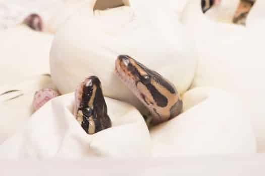 Do all snake eggs hatch?