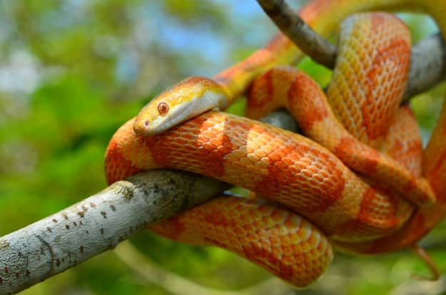 What's the price of a corn snake?
