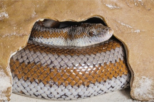 how long do Rosy Boa live?