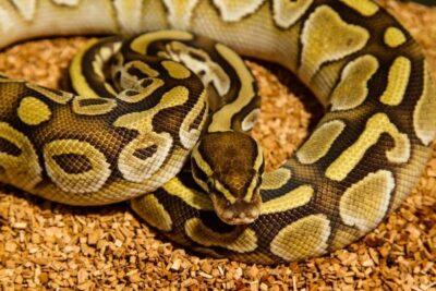 how often do ball pythons bite?