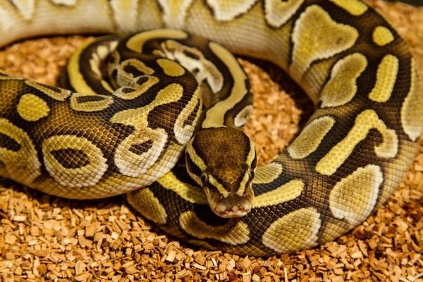 ball python bite care