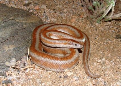 how often does a Rosy Boa shed?