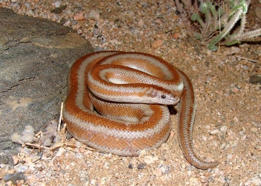 how big can a Rosy Boa grow?