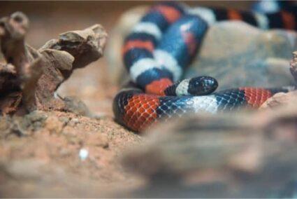 how often should I feed a milk snake?