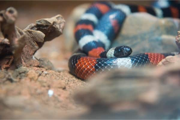 what do baby milk snakes eat?