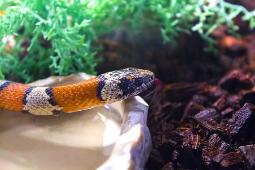 can I put two corn snakes in one tank?