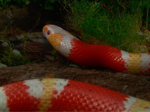 Milk Snakes As Pets A Complete Care Guide For Beginners