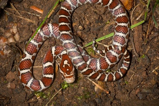 what's the temperament of a are milk snake?