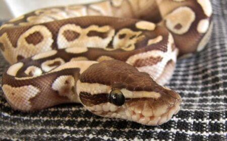 is a ball python's bite venomous?
