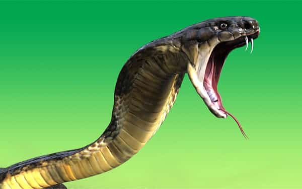 What does the king cobra eat?