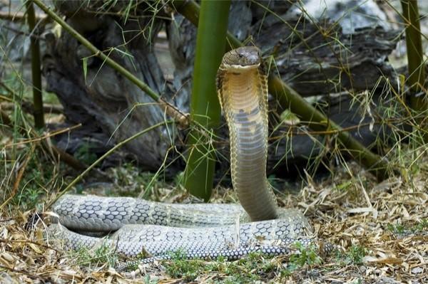 How venomous is the king cobra?