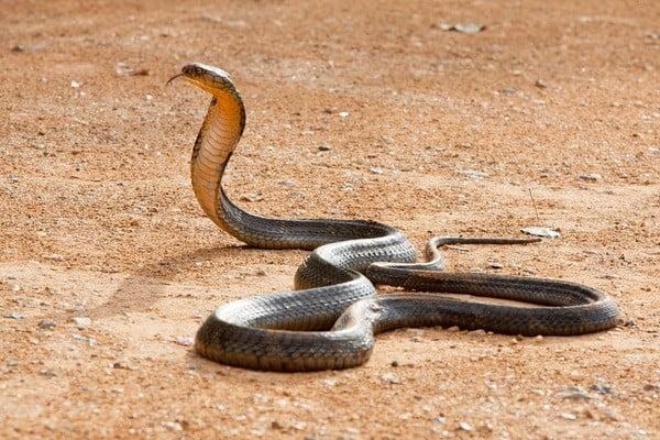 Where do king cobras live?