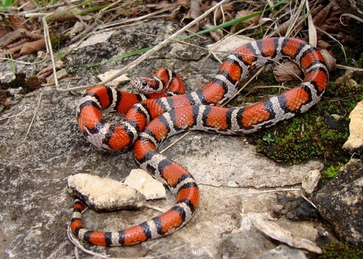 are milk snakes good pets?
