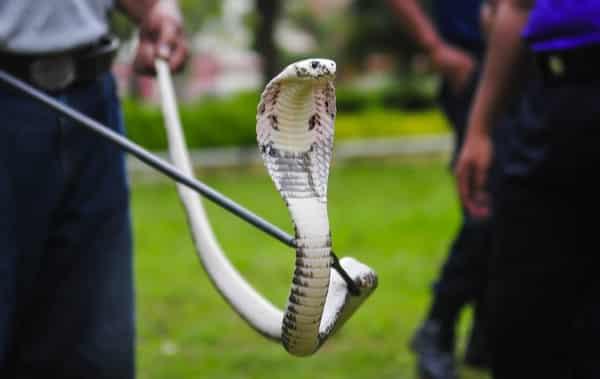 monocellate cobra