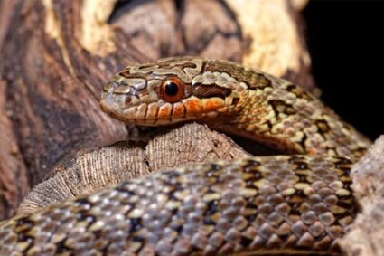 rat snakes vs. corn snakes as pets