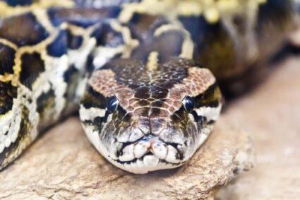 reticulated python length
