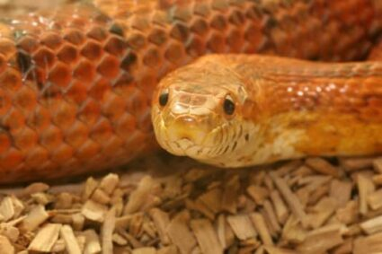 scale rot on corn snake