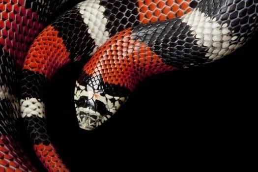 tri color hognose pet snakes
