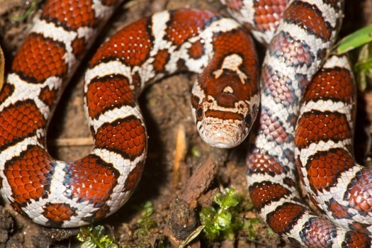 how much does a milk snake cost?