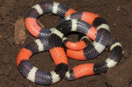 what food do coral snakes eat?