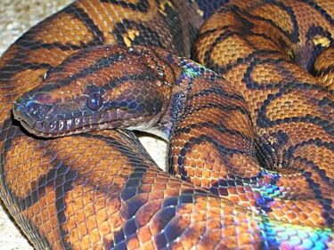what's a healthy weight for Boa Constrictors?