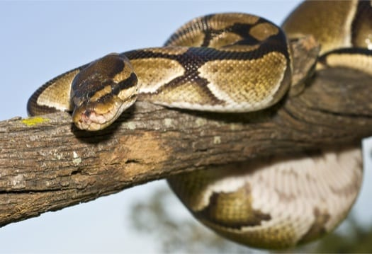 A Complete Guide to Ball Python Pet Care for Beginners!