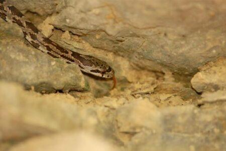 do snakes hibernate in houses?