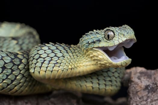do snakes yawn before eating?