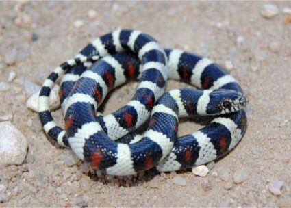 why has my milk snake stopped eating?