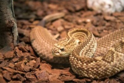 Are rattlesnakes nocturnal or diurnal?