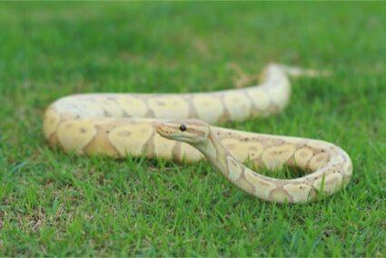 Banana Ball Python Breeding