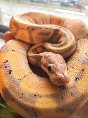 Banana Ball Python Color Morphs