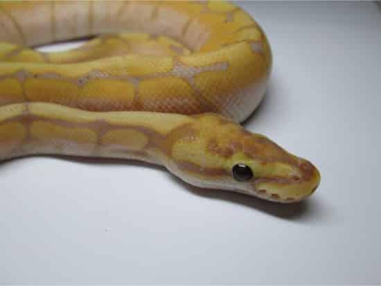 Banana Ball Python Morphs