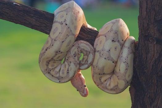 Banana Ball Python Genetics, Breeding, and Snake Morphs Explained
