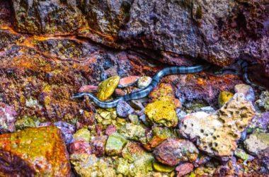 Beaked Sea Snake Facts