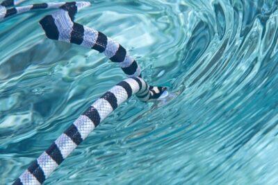 Belcher's Sea Snake Information
