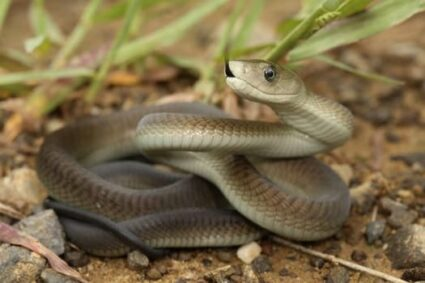 Black Mamba Interesting Facts