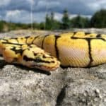 how to make a bumblebee ball python
