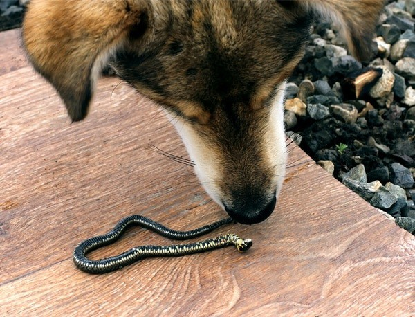 non-venomous snake bite on dog