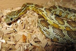 Caramel corn snake morphs