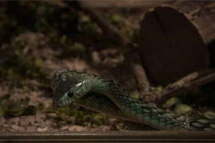 Eastern green mamba bite