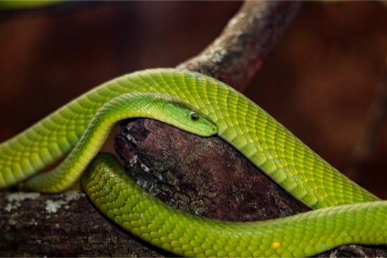 Eastern green mamba venom effects