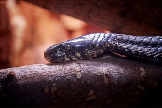 most lethal snakes in the world