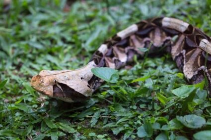 interesting facts about the Gaboon viper